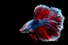 Siamese Fighting Fish. Thailand royalty free stock photo