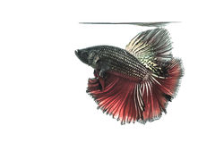 Siamese fighting fish. On white background Stock Images