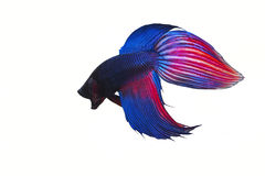 Siamese fighting fish on white background. Copy space Stock Photo
