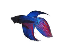 Siamese fighting fish on white background. Fighter concept using  Siamese fighting fish on white background Stock Images