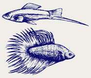 Siamese fighting fish and Xiphophorus hellerii. Doodle style Royalty Free Stock Photo