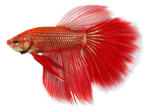 Siamese figthing fish. Isolated in white background stock images