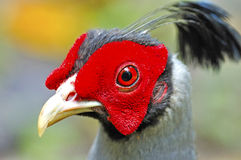 Siamese Fireback Stock Photo
