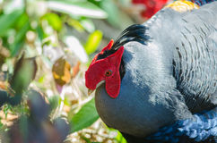 Siamese fireback or Diard`s fireback Royalty Free Stock Images