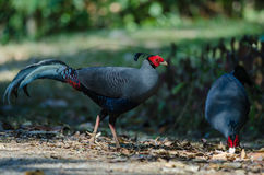 Siamese fireback or Diard`s fireback Stock Photography