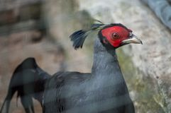 Siamese fireback, Close-up on the head. The Siamese fireback Lophura diardi also known as Diard`s fireback is a fairly large, approximately 80 cm long, pheasant Stock Photography
