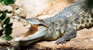 Siamese freshwater crocodile. On ground Stock Images