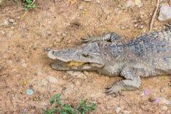 Siamese freshwater crocodile Royalty Free Stock Images