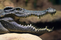 Siamese freshwater crocodile smiling Royalty Free Stock Photos