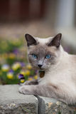Siamese in The Garden. A purebred, Lilac point Siamese laying in the garden Royalty Free Stock Photography