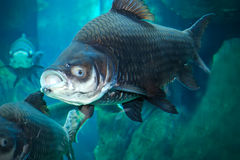 Siamese giant carp Royalty Free Stock Images