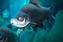 Siamese giant carp Royalty Free Stock Images