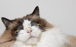Siamese with Glasses Royalty Free Stock Photos