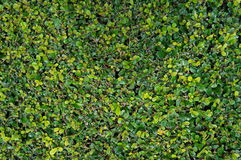 Siamese grov buske Arkivbilder