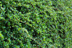 Siamese grova Bush; Bakgrund för tandborsteträdgräsplan arkivfoton