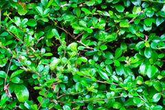 Siamese grova Bush; Tandborsteträd fotografering för bildbyråer