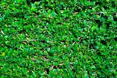 Siamese grova Bush; Tandborsteträd arkivbild