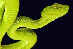 Siamese halvö Pitviper (den Popeia fucataen) Arkivfoto