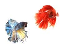 Siamese het vechten geïsoleerde vissen Royalty-vrije Stock Foto's