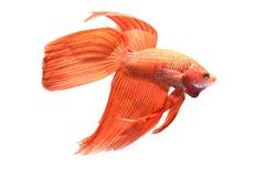 Siamese het Vechten Vissen royalty-vrije stock foto's