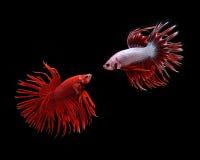Siamese het vechten vissen Stock Afbeelding