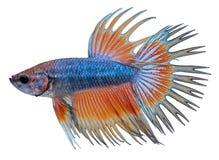 Siamese het vechten vissen. Betta Splendens Stock Foto's