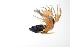 Siamese het vechten vissen die op witte achtergrond dansen Stock Foto