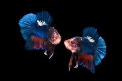 Siamese het vechten vissen die op zwarte achtergrond worden geïsoleerdm Stock Afbeeldingen
