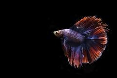 Siamese het vechten vissen op zwarte achtergrond Royalty-vrije Stock Fotografie