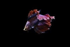 Siamese het vechten vissen op zwarte achtergrond Stock Foto