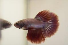 Siamese het Vechten Vissen Rode Roze Halvemaan Betta Splendens seeing stock fotografie