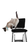 Siamese Jumping Down. A young, purebred, Snowshoe Lynx-point Siamese jumping off of an old high chair.  Shot on white background Royalty Free Stock Photos