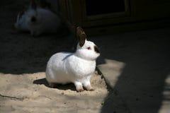 Siamese kanin Fotografering för Bildbyråer