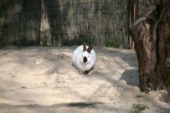 Siamese kanin Arkivfoton