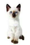 Siamese kat Stock Afbeelding