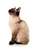 Siamese kat Stock Afbeeldingen