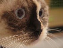 Siamese Kat Royalty-vrije Stock Foto