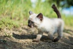 Siamese Kat Stock Fotografie