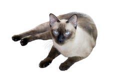 Siamese Kat Stock Foto