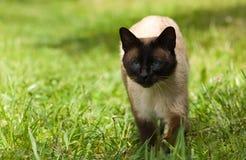 Siamese kat. Royalty-vrije Stock Afbeeldingen