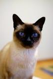 Siamese Kat Royalty-vrije Stock Afbeeldingen