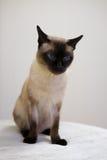 Siamese Kat Stock Foto's
