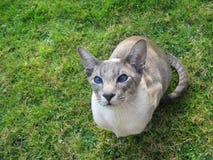 Siamese kat die omhoog eruit ziet Stock Foto's