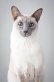 Siamese Kat - Grijze Achtergrond Stock Foto