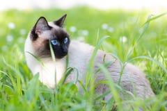Siamese kat in het gras Stock Afbeeldingen