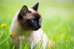 Siamese kat in het gras met blauwe ogen Stock Afbeeldingen