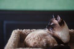 Siamese Kat/Katje die op kattenbed liggen die venster bekijken Royalty-vrije Stock Afbeeldingen