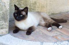 Siamese kat ligt op de grond stock afbeelding