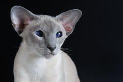 Siamese kat met donkerblauwe ogen Royalty-vrije Stock Afbeelding