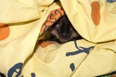Siamese kat onder een deken Stock Afbeelding